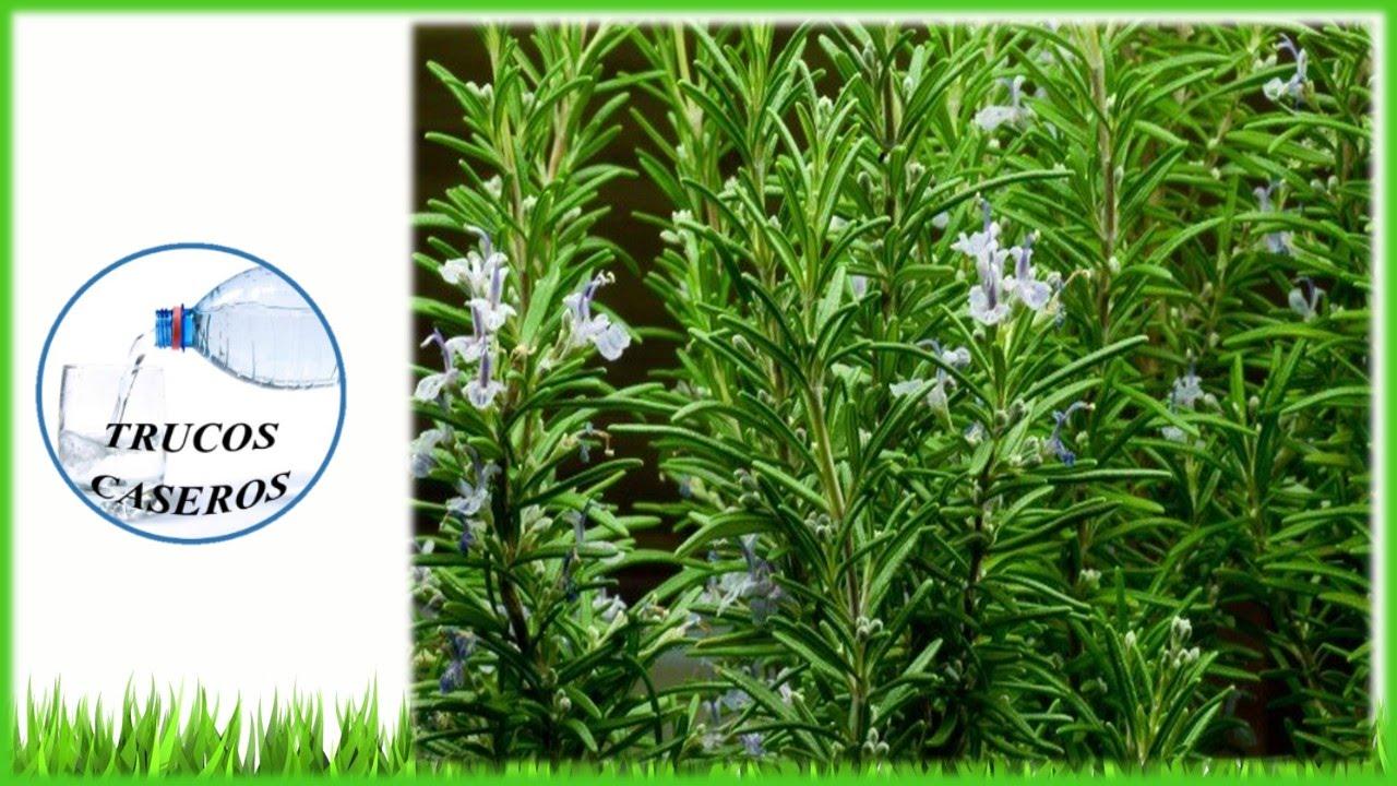 Beneficios y propiedades del romero para la salud for Planta decorativa con propiedades medicinales