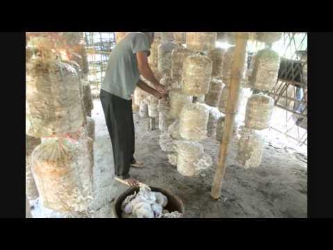 Vegetable Mushroom Planting @ Nepal