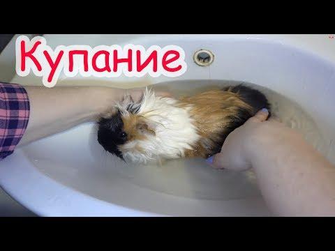 Как часто надо мыть морскую свинку