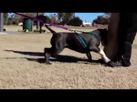 American Bully Training