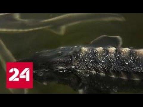 В Тамбовской области будут разводить ценные породы рыб в промышленных масштабах - Россия 24