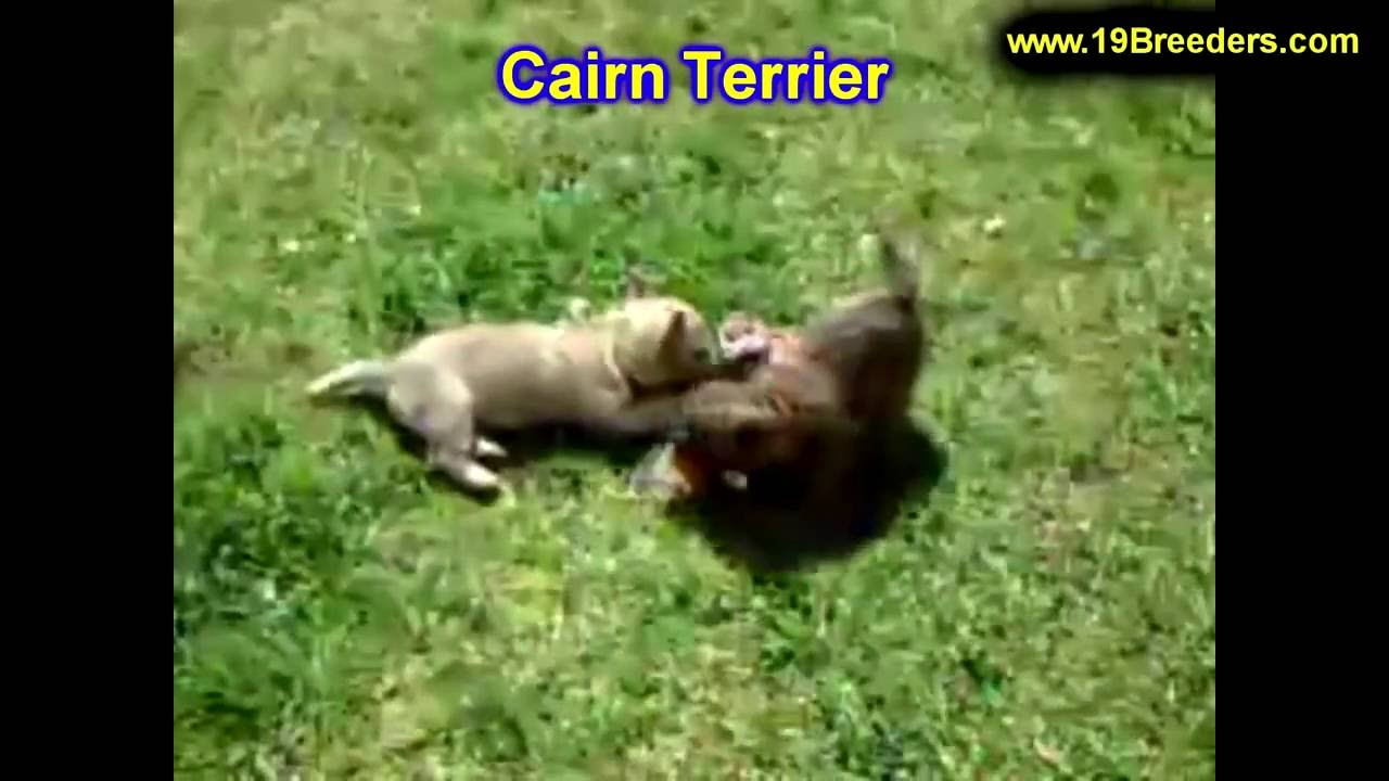 Cairn Terrier, Puppies, Dogs, For Sale, In Lexington ...