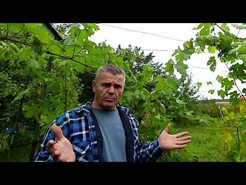 Милдью на поздних сортах винограда.Для начинающих виноградарей.