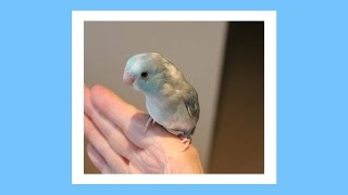 Puff the Magic Blue Pied Male Parrotlet