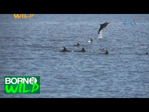Born to Be Wild: The life of spinner dolphins in Tanon Strait, Bais City