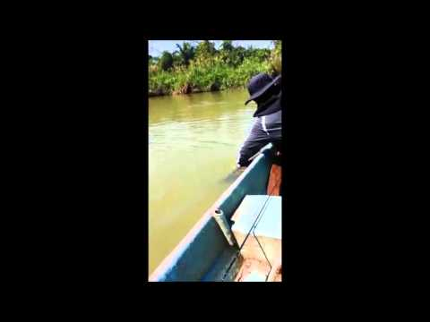 Toman Sungai Perak 2016
