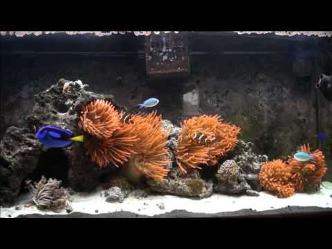 Marine Aquarium Bubble Tip Anemones