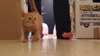 茶トラ子猫「ひろし」水ペロペロ・・・食事タイムっぽいニャッ! 気付かれた・・・ Little Kitty Hiroshi drinking some Water thumbnail