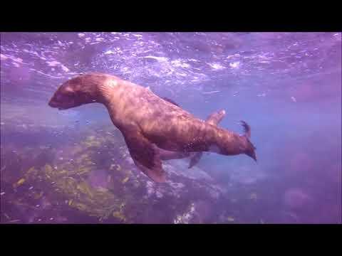 Montague Island Seal Dive - Australia