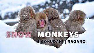 Snow Monkeys of Jigokudani, Nagano