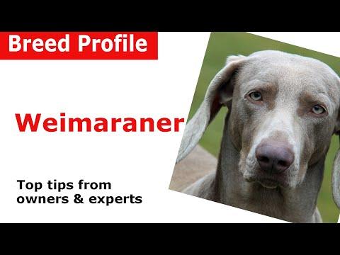 Weimaraner Dog Breed Guide