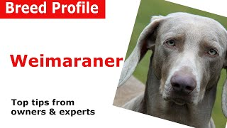 Weimaraner Dog Breed Guide