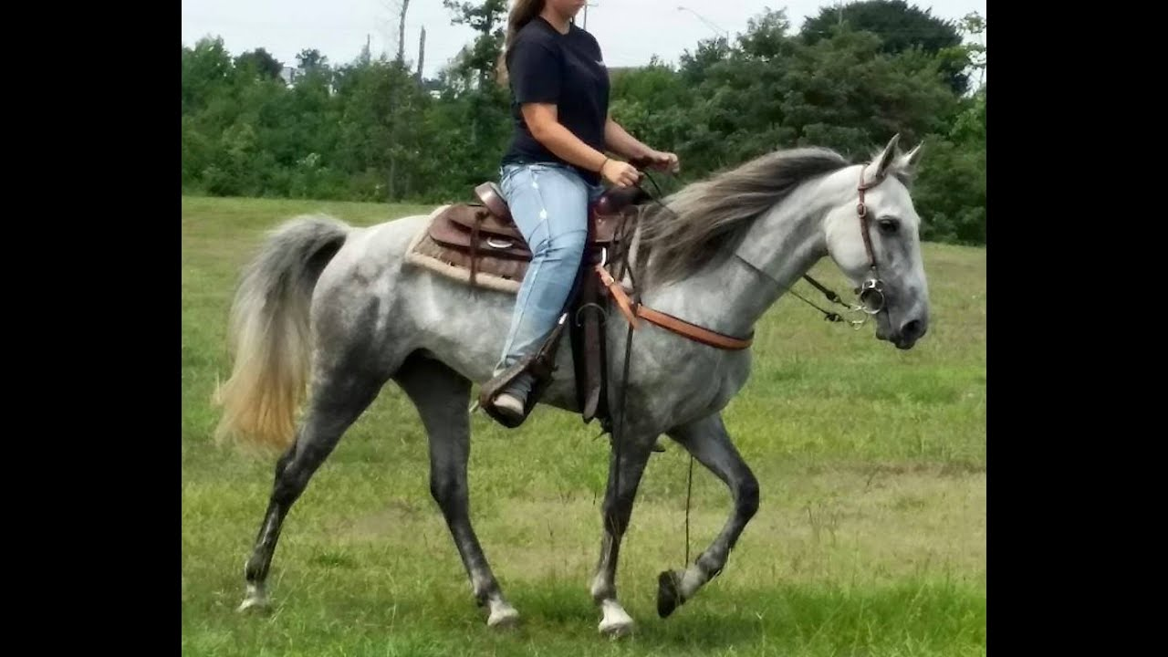 Better Than Cash Gentle and Fun Tennessee Walking Horse for Sale - YouTube