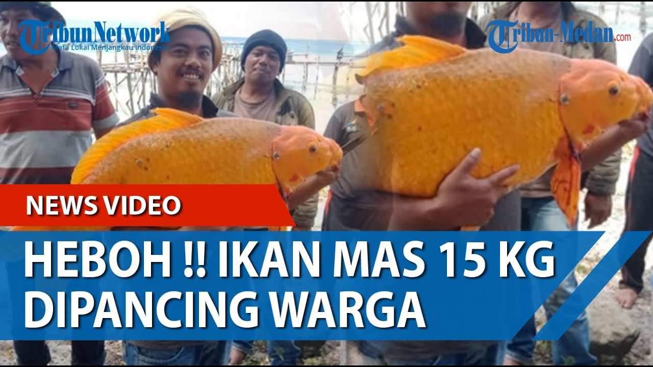 Gambar Nelayan Dan Ikan Mas Rekaman Detik Detik Ikan Mas Raksasa 15 Kg Ditangkap Warga Dari Perairan Danau Toba Tribun Medan