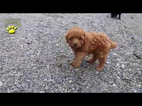 Poodle Mini Puppies