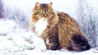 Домашние кошки (рассказывает ветеринар Ангелина Сиротина)