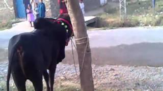 Eid Ul Azha Qurbani, 17 Nov 2010