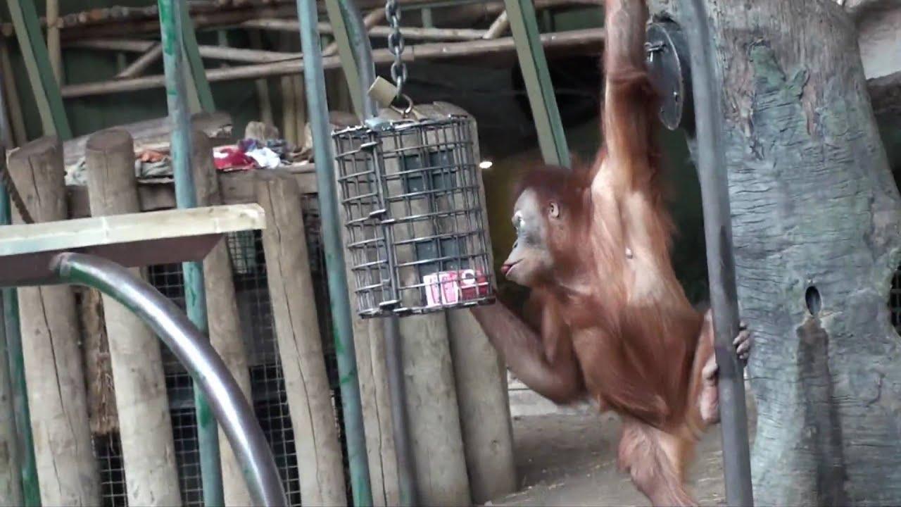 Orangutan Hd Youtube