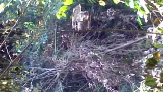 memikat burung daun hijau Kuala Gris Kelantan