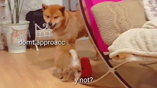 puppy-annoys-dad-shiba-inu-puppies-with-captions