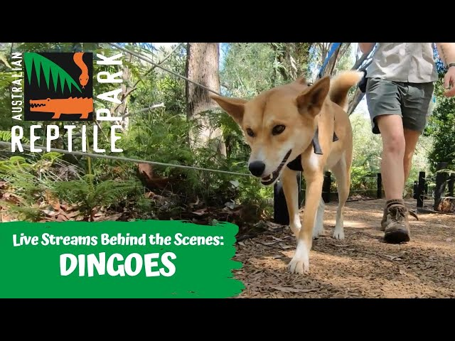 LIVE: WALKING ADINA THE DINGO   AUSTRALIAN REPTILE PARK