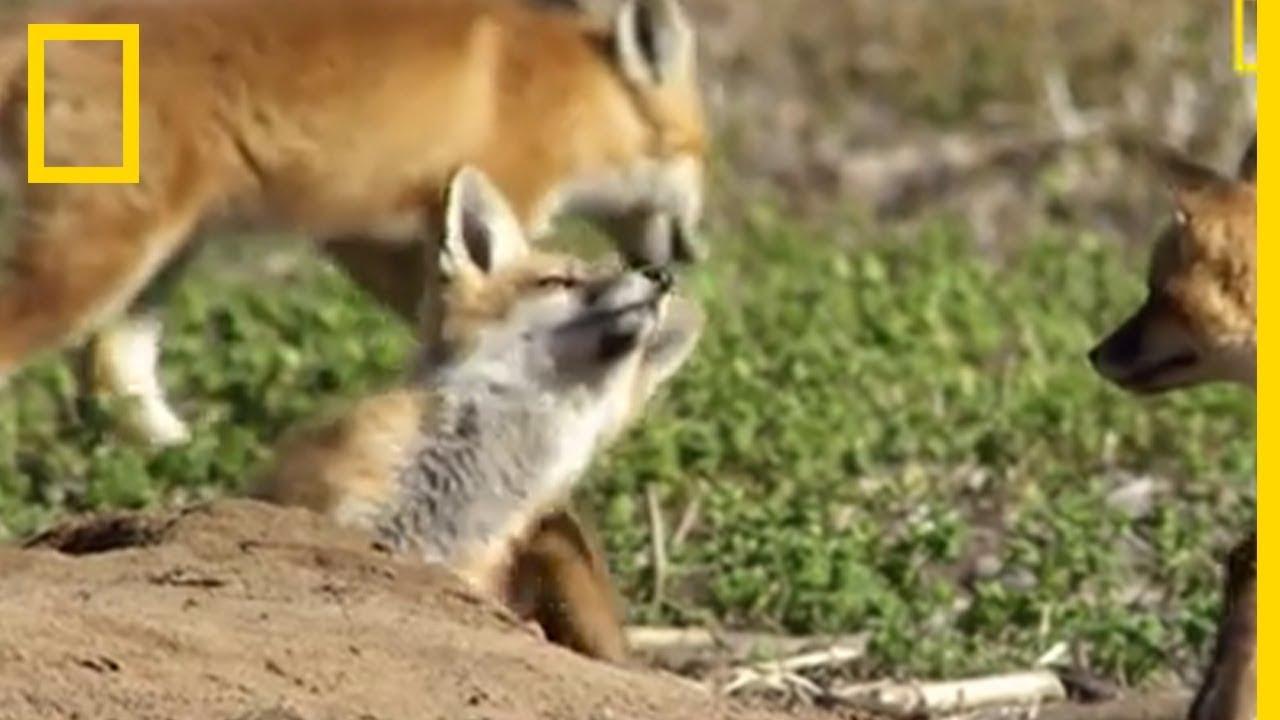 Des bébés renards chahutent