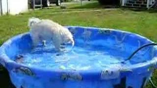 Pugapoo (oscar) Digging In Pool