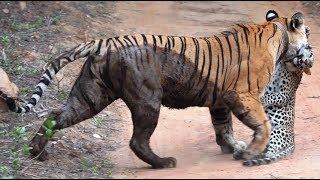tiger vs deer