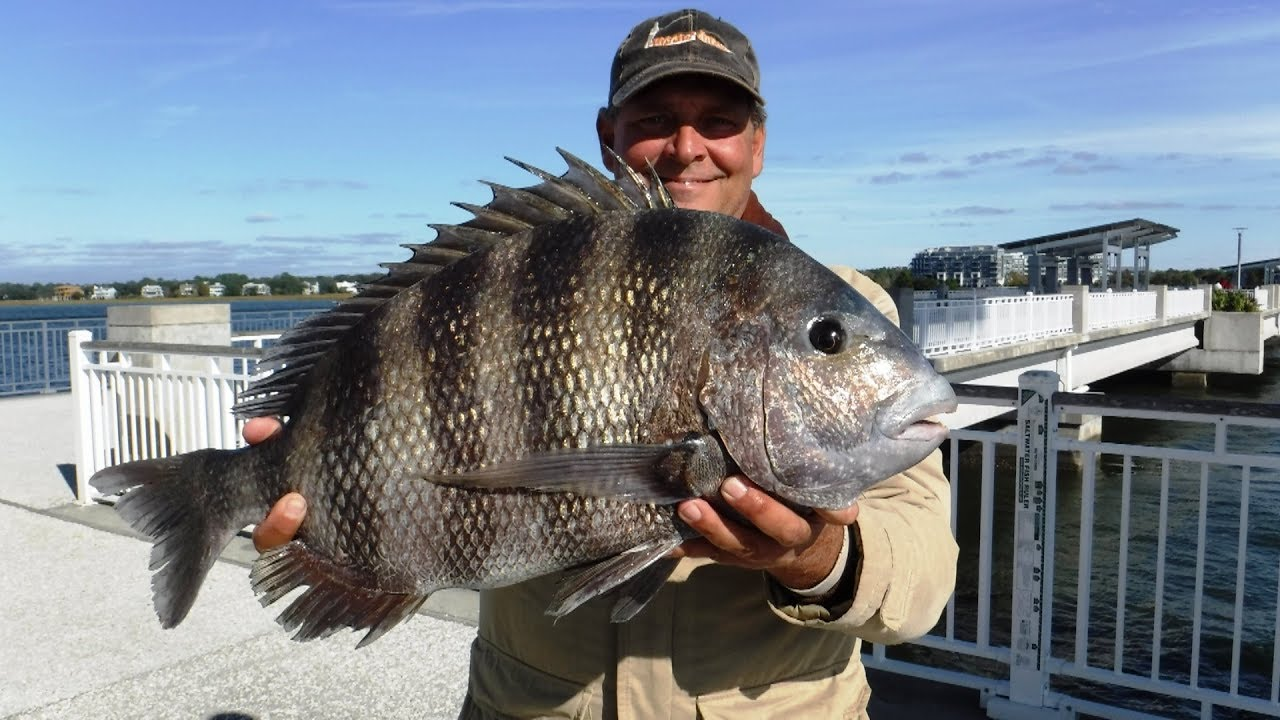 Jiggin 39 jerry big sheepshead nov in to dec 2017 youtube for How to cook drum fish