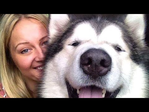 Faq Of Life With Malamutes Your Questions Answered Youtube Inclusive Vlog Youtube Alaskan malamute dog, running happy at the park in rome. faq of life with malamutes your questions answered youtube inclusive vlog