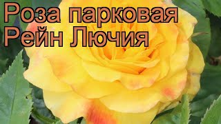 Роза парковая Рейн Лючия (rosa lucia rhenum) ???? Рейн Лючия обзор: как сажать, саженцы розы Рейн Лючия