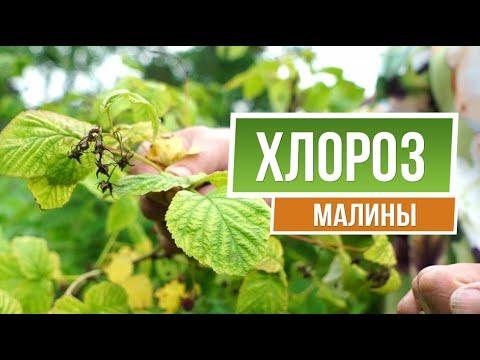 Как Вылечить Хлороз Малины 🍓 Советы От Garden-zoo сад | интернет | железный | вылечить | магазин | купорос | болезни | хлороз | огород | малины | гарден