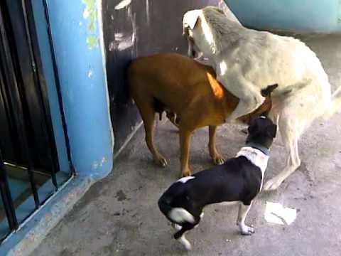 perros peleando por una perra - YouTube