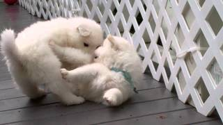 Samoyed Puppies (day 38) - Hit & Runs