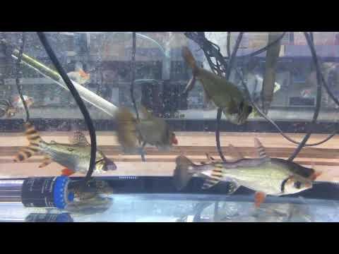 Payara Vampire Tetra Hunting Feeder Fish