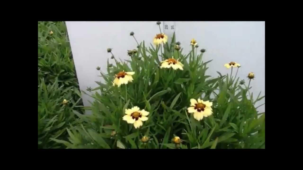 Best Flowering Perennials Coreopsis Autumn Blush Youtube