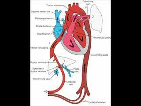 Fetal Circulation and Baby's First Breath  YouTube