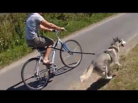 Husky Dog Pulling Bike Youtube