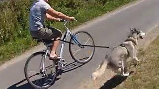 Husky dog pulling bike
