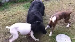 ボクサー犬のヴァレリちゃんとニューファンドランド犬のトム君がサスケ...