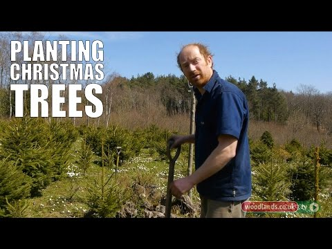 Planting Christmas Trees
