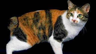 Японский Бобтейл, Уход и содержание, Породы кошек
