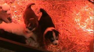 Sasha's Litter-siberian Husky Puppies