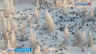 В МЧС опровергли информацию об огромной стае волков, идущей в Башкирию из Казахстана