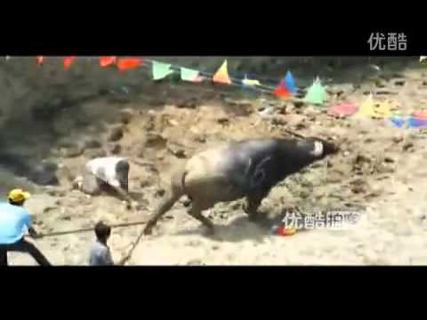Amusing bullfight in Guizhou province, China