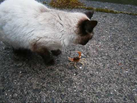 カニとシャム猫、カニ君池ポチャ・・・Crab and Siamese cat 【いなか猫1052】japanese funny cat