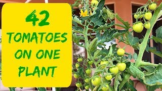 HOW TO MAKE THOSE TOMATOES GROW BIG?