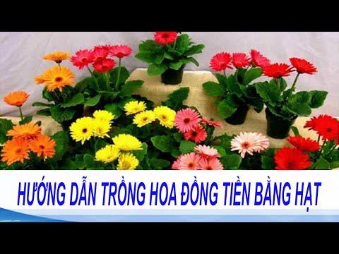 Kỹ thuật trồng hoa đồng tiền trong chậu đẹp ngỡ ngàng   Hướng dẫn cách tự trồng hoa đồng tiền