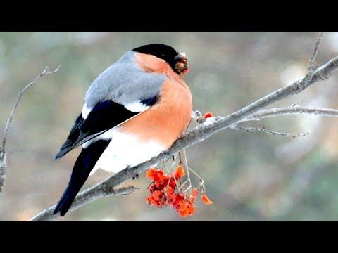 Снегирь ест рябину зимой и песенку поет