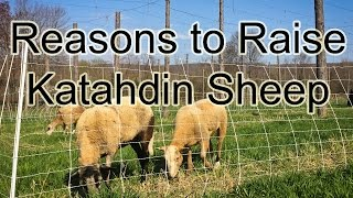Good reasons to raise Katahdin sheep